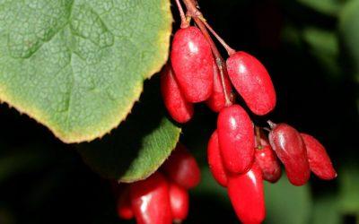 DIE GEWÖHNLICHE BERBERITZE – als Heilpflanze wenig bekannt